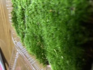 苔にくわしい方よろしくお願いします。 この苔はなんでしょうか? 濃い緑で絨毯のような綺麗な苔です。苔自体は短く平に広がりはえてます。丸くはありません、高さ均一で絨毯みたいです。 ホソバオキナゴケやアラハシラゴケにも似てますがもっと短く細かい気もします。 家の裏のコンクリートはえてました。日陰になるところです。