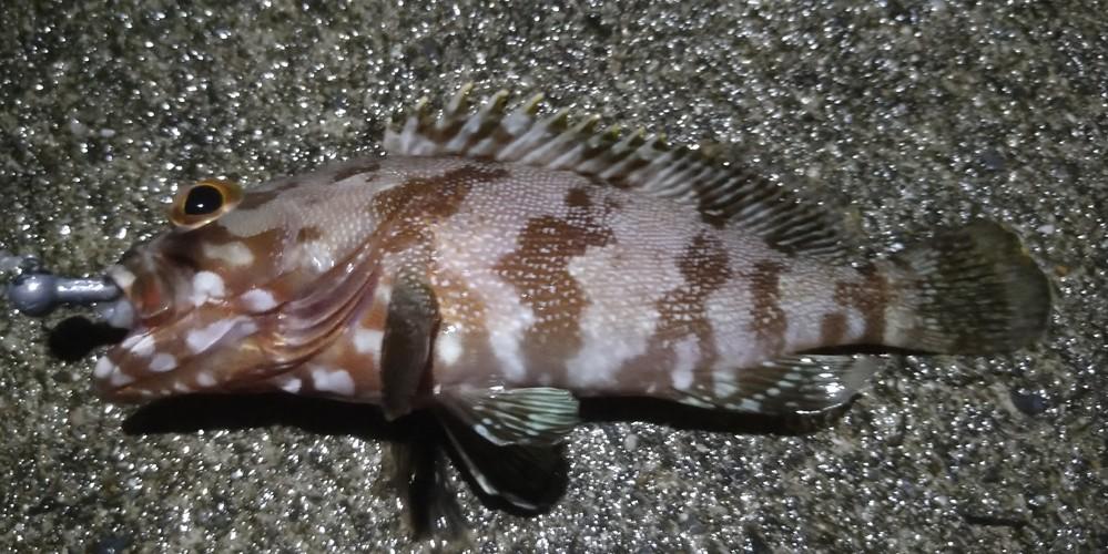 この魚の名前を教えて下さい。都内島嶼で釣りました。