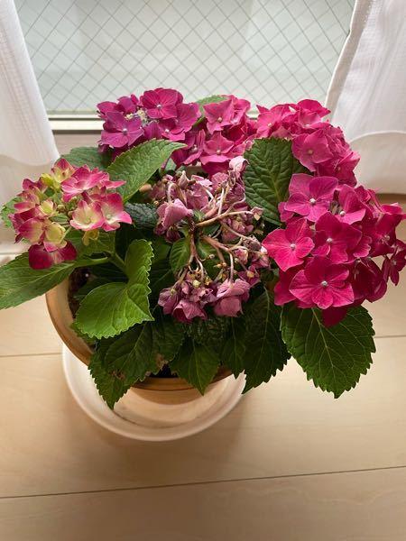園芸に詳しい方お願いします! あじさいが枯れてしまった原因がわかりません。 十日前ぐらいに花屋さんでビニールの黒いポットに入った紫陽花を買いました。 ポットから素焼きの鉢に植え替え、毎日水やりをして日陰のベランダで育てていたのですが、2日前ぐらいから花が部分的に枯れ始めました。水やりの頻度が最初はわからず、朝一回だけの日があったので水切れかと思い、朝と夕方2回たっぷり水をやりましたが、改善せず日に日に枯れていきます。昼間は32度ぐらいになっていたのでベランダが暑過ぎたのかな?と思い、昨日部屋に入れ、様子を見ています。 他の花は枯れておらず、この花だけ枯れる原因がわかりません。葉もどんどん生い茂りピンピンしてます。 ネットで色々調べたのですがいまいちよくわかりませんでした。 もうこの状態だと復活しないですかね?早々と切ってしまった方がいいのでしょうか。 それとももう花が終わってしまっているのでしょうか。 回答よろしくお願いします。