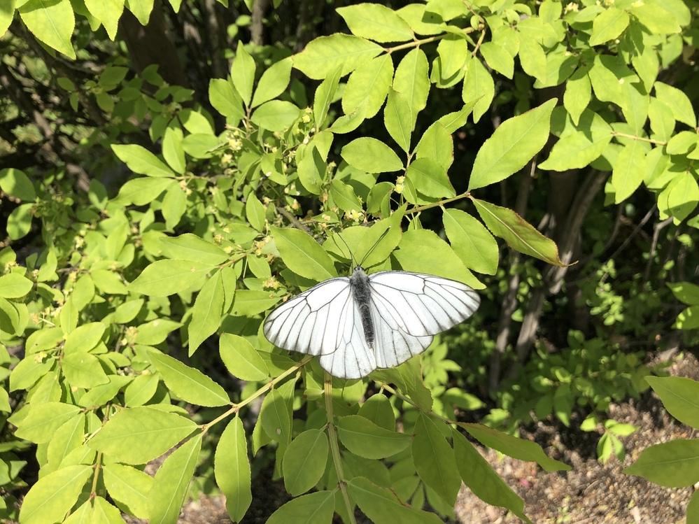 何という虫でしょうか?? 今朝家の近くを通ったらいっぱい飛んでいて、とても綺麗だったので、これを機に名前を知りたくなったのですが… これってモンシロチョウなんですかね? まず蝶なのか蛾なのかも分からないです…誰か虫に詳しい人教えてください!