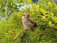 この鳥は何の鳥でしょうか? 近所で見るスズメと少しちがうのですが、これもスズメですか?