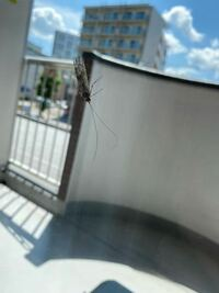 この虫は何ですか? 毎日ベランダに出てきて気持ち悪いです