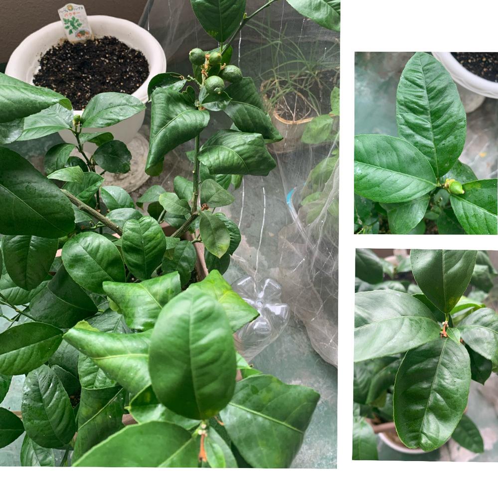 レモンの葉が丸まったものや、葉の筋が強調されているものがあります 初めて実も成長しているので、うまく育てたいのです どうすれば良いのか全くわかりません 原因と対処法、放置していてもいいのか、どなたか教えていただけませんか? (葉の裏の虫とかはこまめにチェックしており、アブラムシも目にしたら除去しているので、可視できるものはいないと思います)