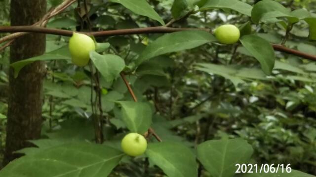 木の名前を教えてください、 岐阜県米田白山で、 撮影20210616