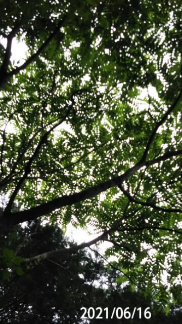 木の葉っぱを撮したら丸い点がやたらと映りました、 この現象はなんですか? 岐阜県米田白山でカラスザンショウの実 撮影20210616