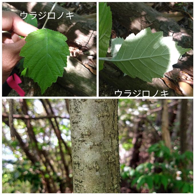 恥ずかしながらウラジロノキと間違えて記録していました… 一枝に一枚しかついてないので間違いに気がついた次第です。 互生です。 こちらはなんの木かお分かりになりますか?