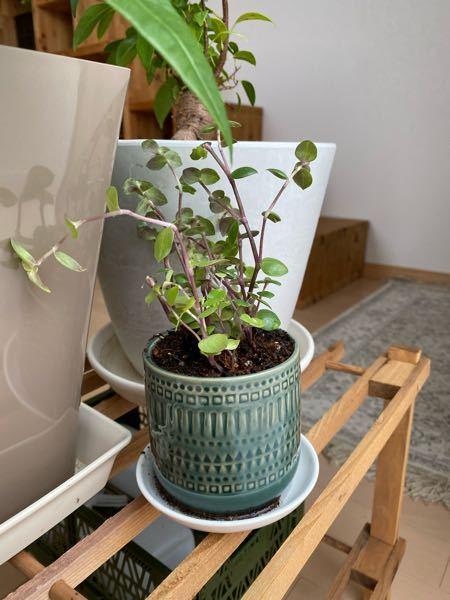 この観葉植物の名前を教えてください! 観葉植物 / 植物 / 緑 / 葉 / 丸い葉 / 百均 /