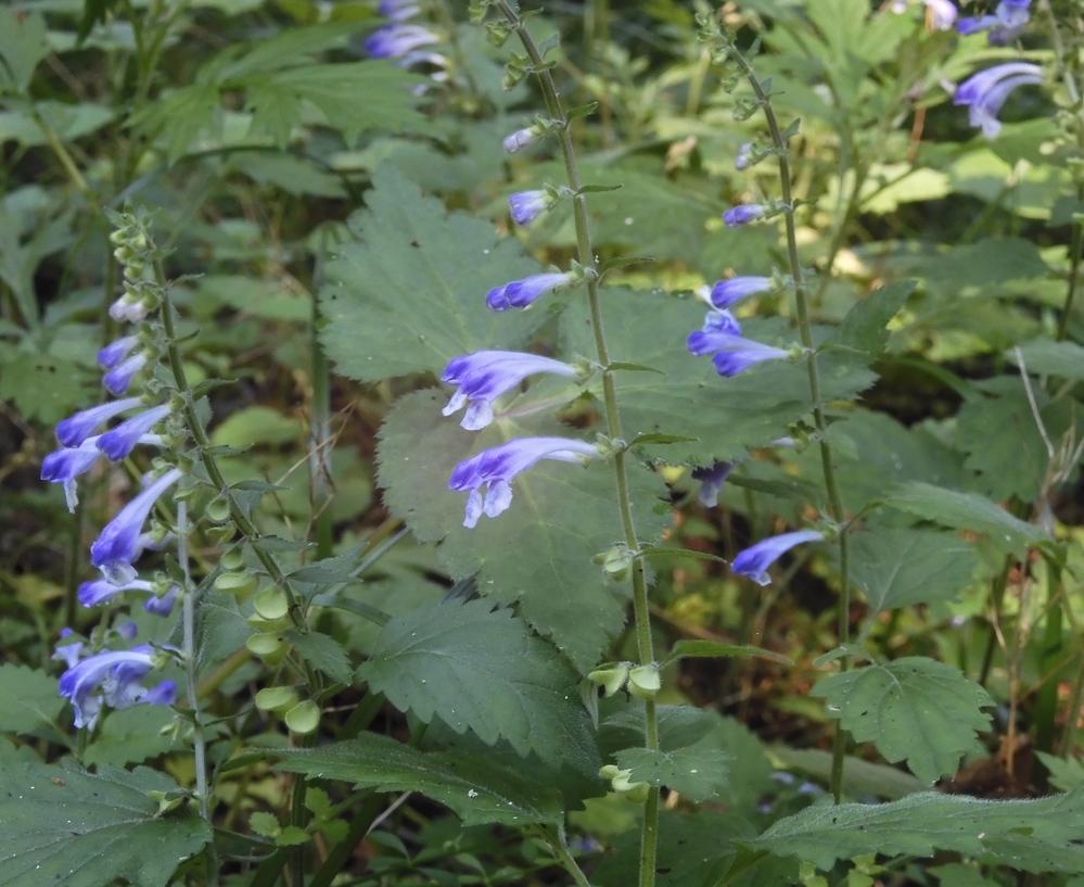 この花の名前を教えてください。よろしくお願いいたします。