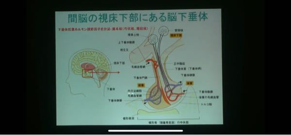 脳下垂体前葉ホルモンを、『対応する視床下部ホルモン』と『下位の標的器官ホルモン』を関係させてまとめなさい。 このような課題が出ました。 私は高校で生物基礎しか習っていないので、いまいちよくわかりません。 わかる方、教えていただきたいです。 先生のパワーポイントはこのように書いてありました。