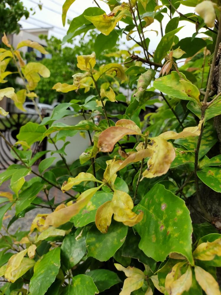 庭のかしの木が一本だけ葉が変色しシワシワになっています。どんな病気なんでしょうか?どなたがご教示お願い致します。