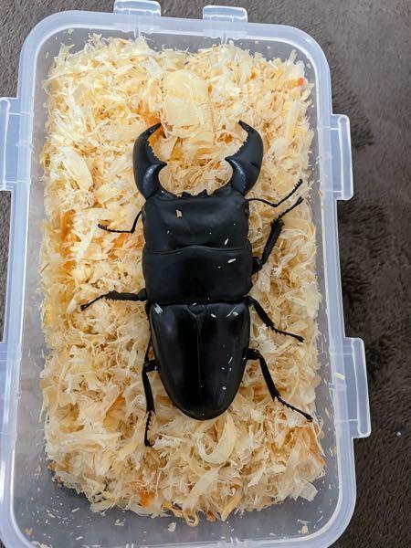 今日家にスマトラオオヒラタクワガタアチェ産の 100.67ミリの個体が届きました。 証明書に羽化日が2021の4月25日と書いてありました。 いつ頃からエサを食べるようになりますか? 今昆虫ゼリーを入れていますが全く食べる気配がありません。回答お願いします。