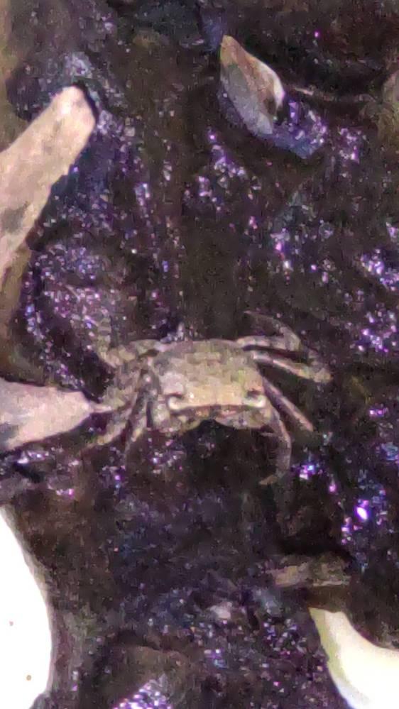 この蟹は何という蟹ですか?海や山や川から遠い繁華街にいました。蟹が住みやすい環境に連れて行きたいので詳しい方教えてください。