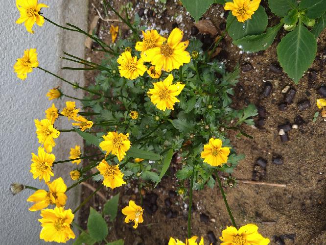 花壇にこの花を植えたのですが、花が虫?に食べられます。ナメクジじょきの薬とオルドランはまいでます。でもダメです。どうすればいいかわかりません。教えて下さい!
