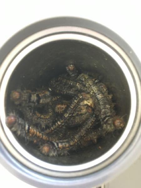 先程、このような幼虫をみつけました なんの幼虫(毛虫)でしょうか? 知っているかた見えましたら教えて頂きたいです よろしくお願いします
