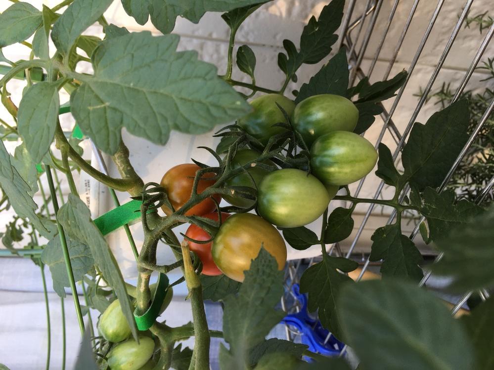 家庭菜園初心者です。 ホームセンターで買ったミニトマトの苗をプランターで育てています。 ベランダは南西。日当たり良好。 肥料も水やりも上手くいってるようで、ミニトマトがたわわになっています。 赤くなったら収穫していますが、1粒ずつ赤くなるので、1粒ずつ収穫しています。 何個か同時に赤くなって欲しいのですが、この時間差を無くすにはどうしたら良いのでしょうか?