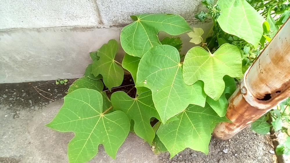 この特徴的な葉を持つ植物の名前を教えて下さい。場所は民家と公道の境界で同じ箇所からイヌホオズキが生えていました。 葉の全幅は15cm前後(正確に計測してません。)