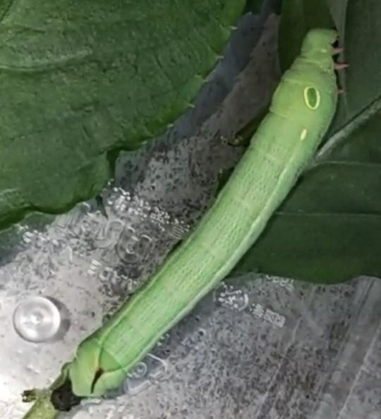 なんの青虫なのか教えてください。 庭で捕まえたのですが、これは成長すると蝶になるのでしょうか、それとも蛾でしょうか。 よろしくお願いします。