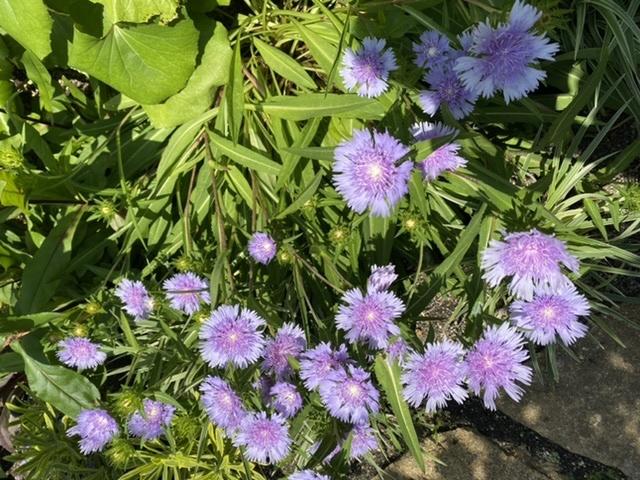 先日ショッピングモールの屋上庭園で見かけたこちらのお花、何の花か分かる方いませんでしょうか? 写真の紫色の他に、白色もありました。