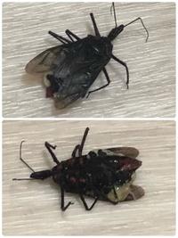 【お礼100枚】これゴキブリですか? 部屋の中を飛んでいました。助けてください。これってゴキブリでしょうか?ゴキブリムエンダーしか無かったので直接5プッシュしましたが死なずじわじわと生きていましたので叩いて駆除しました。 もしゴキブリだったらと考えると背筋が凍ります。虫の知識のあるかた、ぜひご教授ください。。