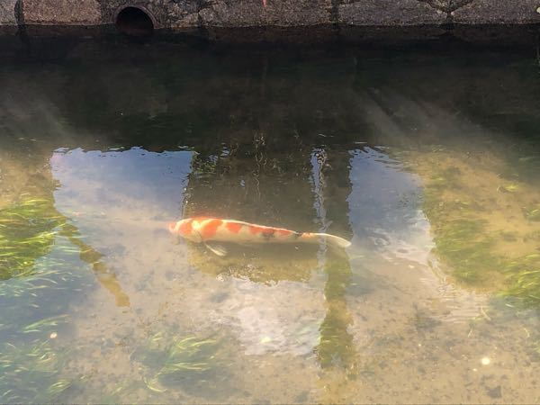 普通の川にいたんですけどこの柄の鯉って普通の川にいるものなんですか?