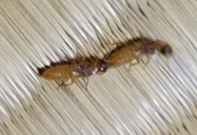 家のなかで羽アリの羽のないのを見つけました。これは何アリでしょうか。