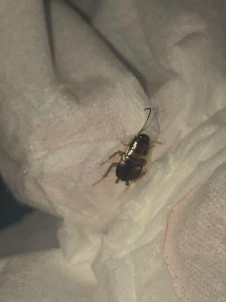 これはゴキブリの子供?