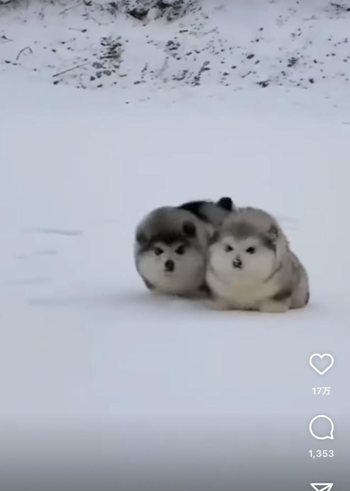 インスタで見たこちらの犬がとても可愛く 犬種が何なのか気になっています。 もふもふの毛で雪の中を走っていたのですが 犬種わかる方教えていただきたいです。