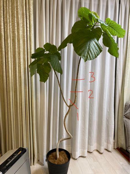 ウンベラータの剪定場所で悩んでいます。 カーブしている枝に惹かれて6年前に初めて購入したウンベラータが1.8mほどに育ちました。 何度か細い枝を切り現在は写真のような形状です。 葉が上部のみになってしまったので右側の枝を切ろうかと思っていますが、1.2.3のどの位置で切るのが望ましいでしょうか? 枝の部分が長くなってしまったので葉がもう少し下にもあるといいなと思ったのと、切った枝も植え替えて大切に育てたいと思っています。 1.2.3の位置にこだわりがある訳ではありません。 他の位置や右ではなく左を切った方が良い等あればご教示ください! どうぞよろしくお願いします‼︎