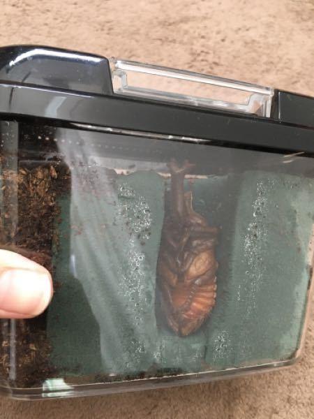 カブトムシ人工蛹室について。 カブトムシの幼虫をはじめて飼育しています 初心者です。 1匹のカブトムシが土の上で蛹になってしまったため 2週間さわらず、本日人工蛹室を作ってみました。 せっかくなので透明で見えるようにとおもい 虫かご+オアシス+土で作りました。 この大きさで羽化できそうでしょうか? トイレットペーパーの芯を参考にしたのですが、 オスでちょっと大きめなのか小さく感じます。