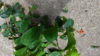 この木はなんでしょうか 赤い実がなってました。 ザクロかイチジクでしょうか?