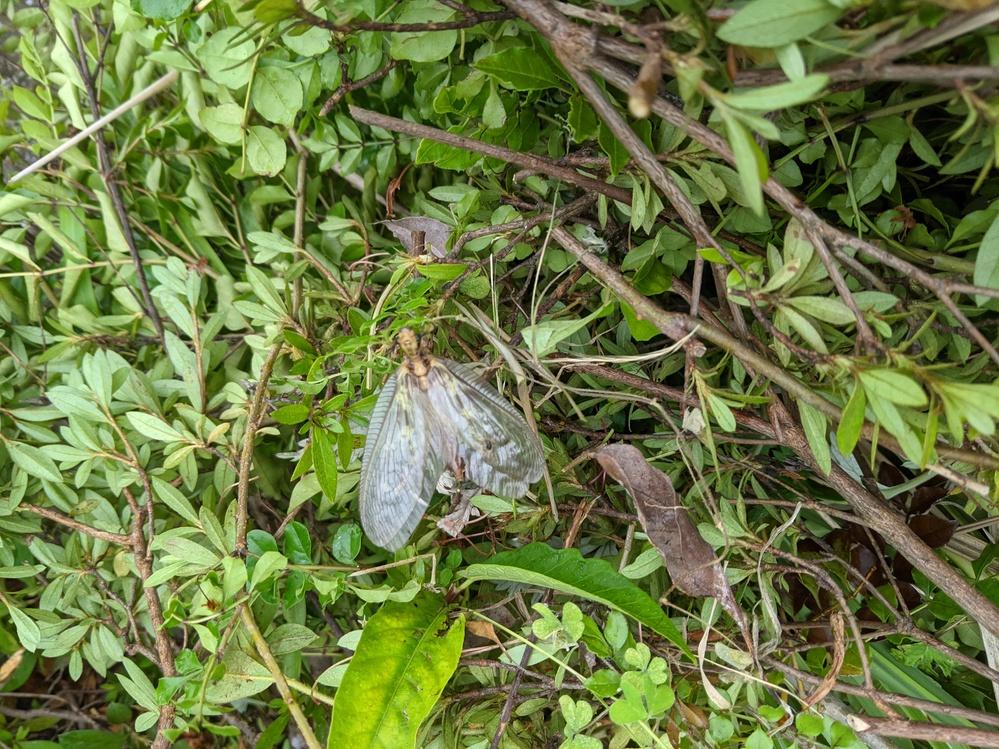 この虫の名前わかる方いますか? 体長は約7センチ程でなかなか大きかったです。