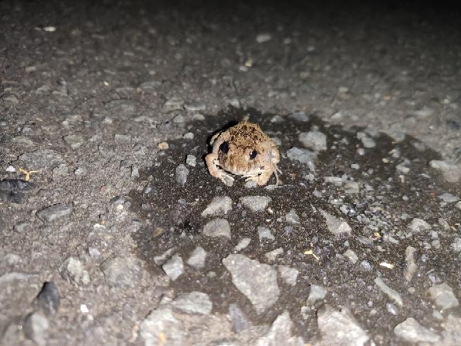 このカエルの種類は何ですか?