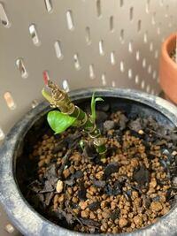 百均で買ったフィロデンドロン?の葉っぱが黄色くなってどんどん枯れてきて最終的に0になってしまいました。5月の終わり頃に植え替えてみたのですがあまり根が張っていない感じでした。1週間ぐらい前に新芽が出始め たので百均の土を使ってたのが原因なのかなと思ってましたがまた枯れてきました。日照不足ですかね?回答お願いします。