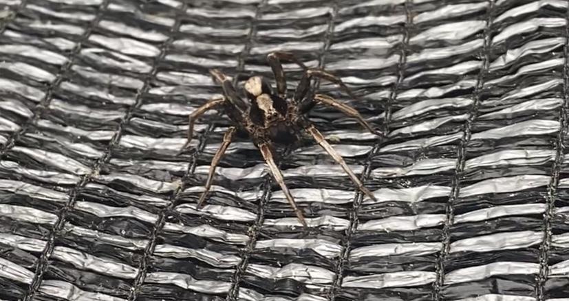 このクモはなんですか?手の親指の爪よりひとまわり大きいくらいの大きさでした。