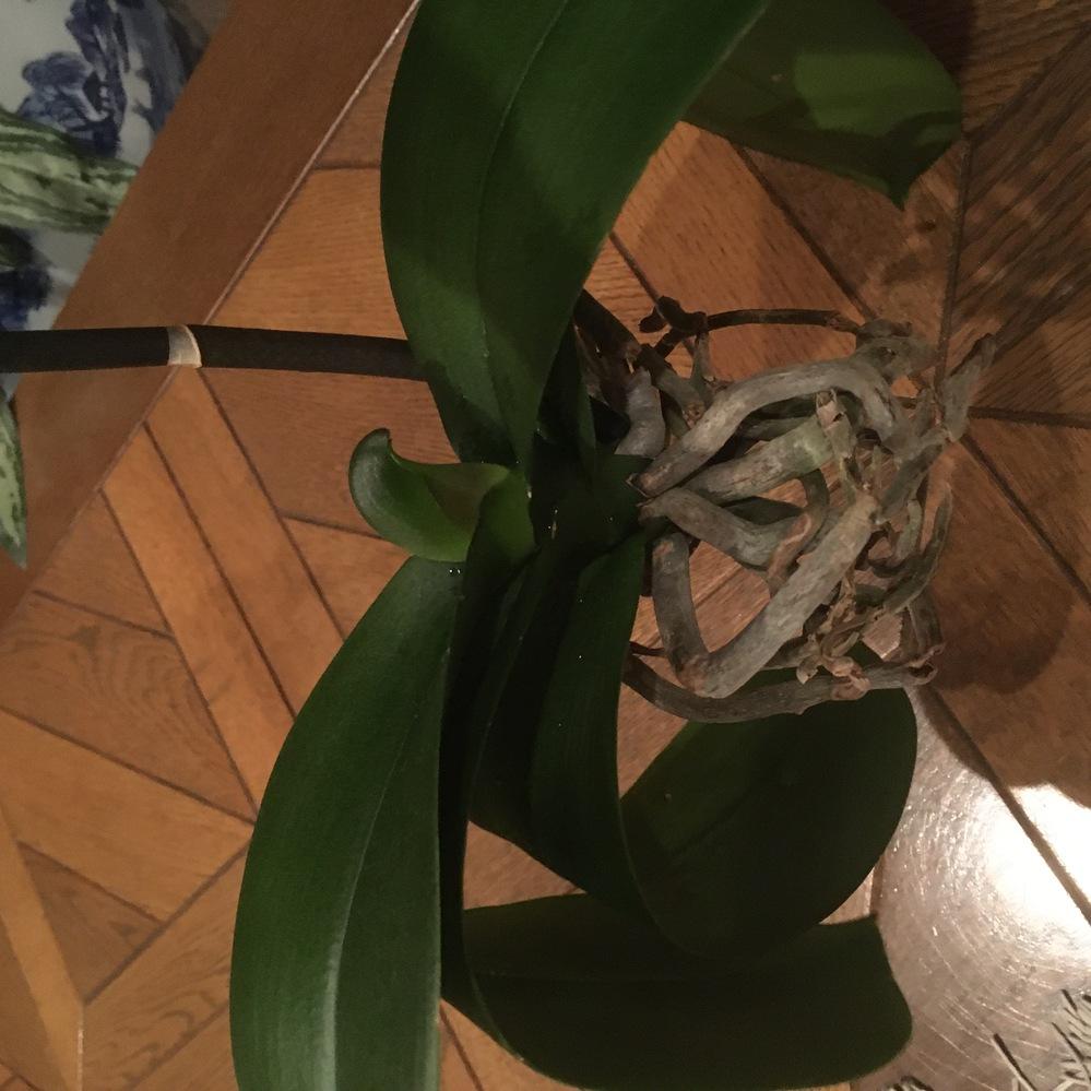 胡蝶蘭の植え替えについて、ご助言お願いします。 4月にいただきものの胡蝶蘭を水苔を外して根を整理してバークに植え替えたのですが、水をあげたのがよくなかったのか、がっつり根腐れさせてしまいました。 気がついたのがGWで、腐れた部分を除去、洗剤で洗って、軽くビニールでおおって、宙ぶらりんになるように放置。たまに霧吹きをしてました。 葉っぱは落ちたり、水不足なのかしなしなになってるものもありますが、痩せた根の中、新しく出てきた根もあり、真ん中からは新芽が出てきた株もあります。 これから、できればバークに植え替えたいのですが、そのまま植え替えて大丈夫でしょうか? そして植え替え後の水やりのほうはどうすればよいでしょうか? それとも水苔のほうがいいのでしょうか? よろしくお願いします。