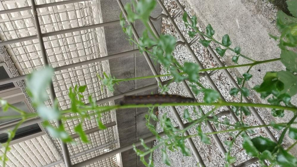 シマトネリコという木の幹にくっついていたのですが、何かの幼虫でしょうか? わかる方がいれば、詳細教えてください。