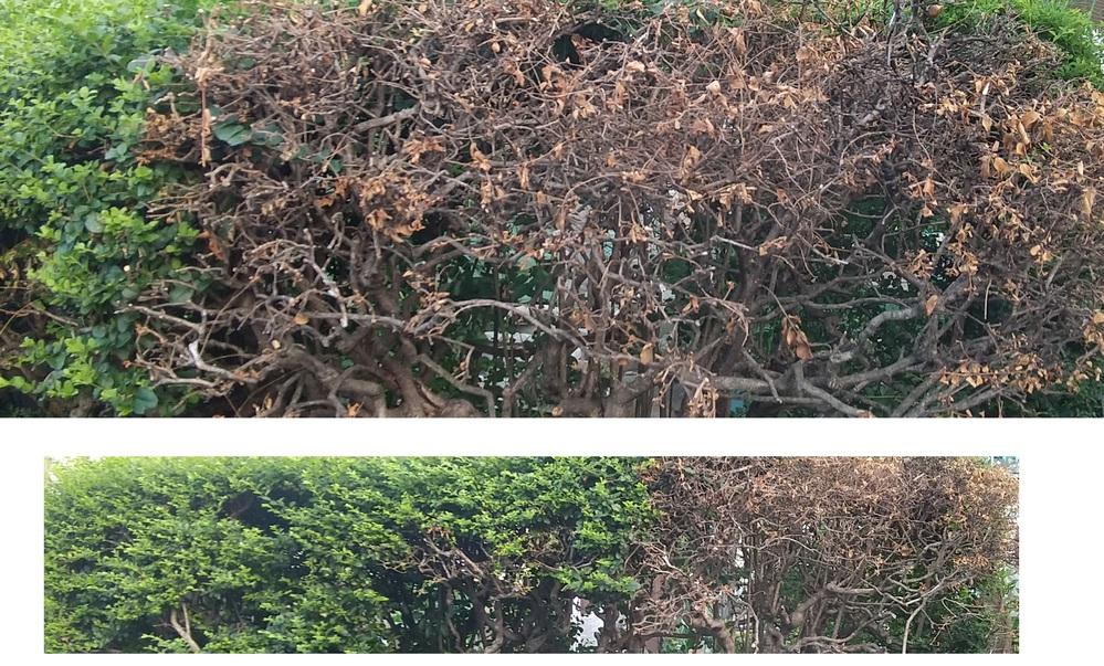 庭に植えてる木なんですが右側だけある日突然枯れました。 葉っぱは茶色くなって秋の落ち葉のようにパサパサ 枝はポキッと簡単に折れるほどです。 枝はすべて簡単に折れたのでここだけ空洞になりました。 去年の9月ごろに枯れ今は新しい枝が少し出てきましたが 何かいたずらされたんでしょうか。 よろしくお願いいたします。