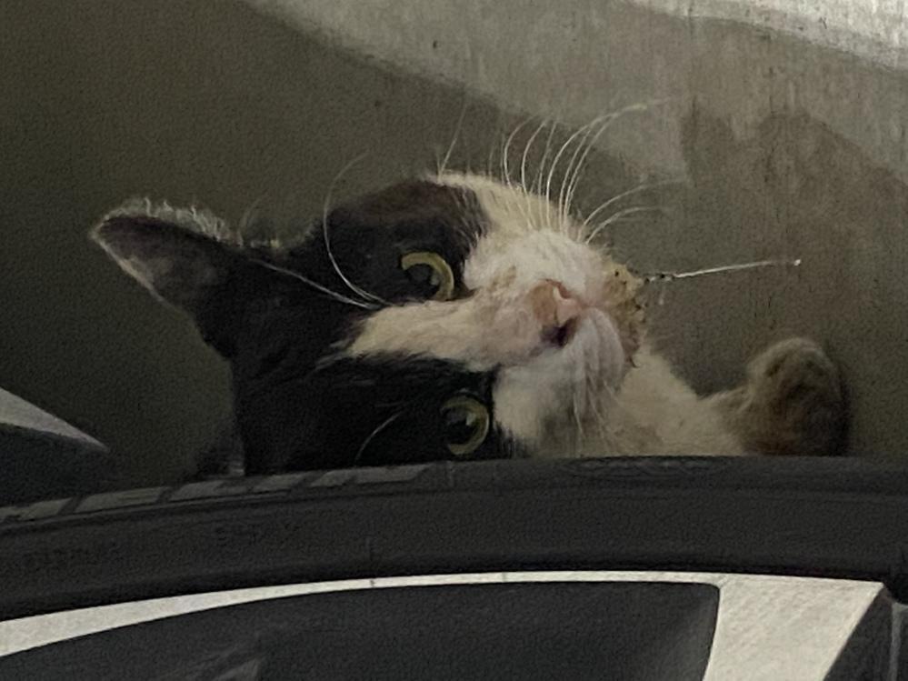 近所の野良猫が、時々ですが写真のようなヨダレ?を垂らしていることがあります。 何かの病気でしょうか? 警戒心が強く、捕獲して病院に連れていくこともできません。 そんなに大病の可能性はないでしょうか?