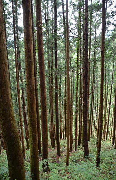 これって、杉ですか?ヒノキですか? 先日、山登りをした時に撮った写真なんですが。 見返して「そもそもこれは何の木なんだ?」って恥ずかしくなりまして。 たぶん杉かヒノキなんだろうけど、正直違いがよくわかりません。 よろしくお願いいたします。