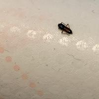 【虫注意】 汚くて申し訳ございません。これはなんの虫でしょうか…何か落ちているなとコロコロクリーナーをしたら、くっついていました。