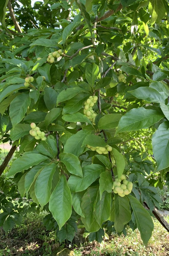 この植物の名前はなんですか? 5mぐらいの木で特徴的な実がなっています。