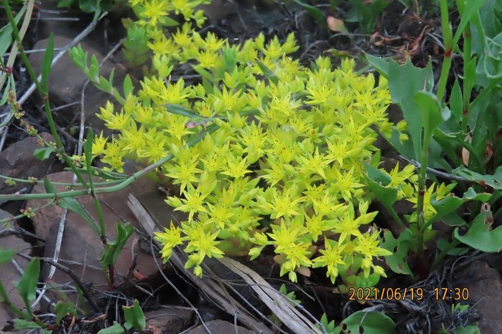 この花の名前教えてください。よろしくお願いします。 本当は もっと黄色で小さな花です。