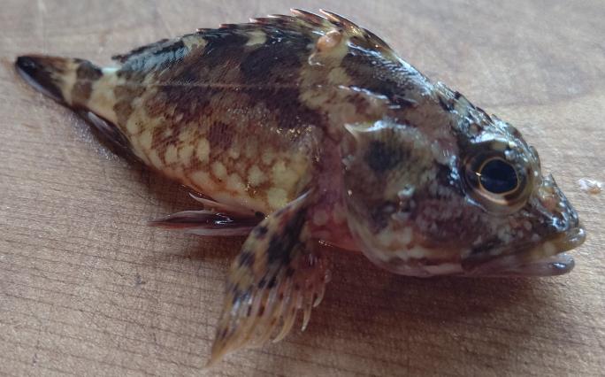 この魚はカサゴでしょうか?