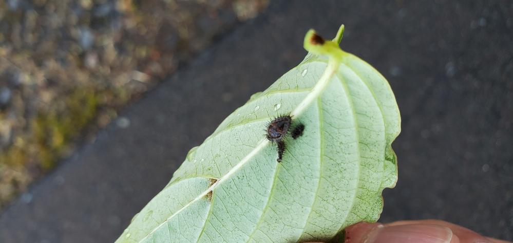 ヤマボウシの葉っぱの裏にくっついてました。 何の虫か解りますか? よろしくお願い致します。