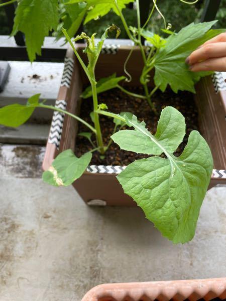 こちらの手前の苗は何でしょうか?? 先日、大葉とゴーヤの種を植えました。奥はゴーヤの苗が出てきたのですが、手前が何かわかりません。。 調べても何か分からないので、わかる方教えてください(◞‸◟)