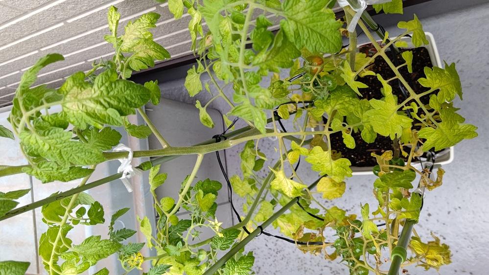 ミニトマトの様子を見てほしいです。 今年、家のベランダでミニトマトの鉢植えを初めて育てています。 それなりに青い実が成り始めていたのですが、実が成り出した頃から少しずつ葉っぱが黄色くなり目立ってきました。 最初は葉焼けかな?とベランダ内の日陰に移動させたりしたのですが、どんどん枯れていき、最近酷いものは茎ごと簡単に折れます。 肥料は液肥を2~3週間に1回やっています。 これは何が原因でしょうか?このまま育てて大丈夫でしょうか?