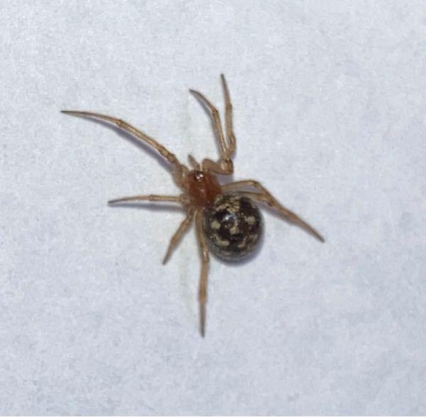 蜘蛛に詳しい方おしえてください マンションの部屋に出てきた、 このクモの種類わかりますか?