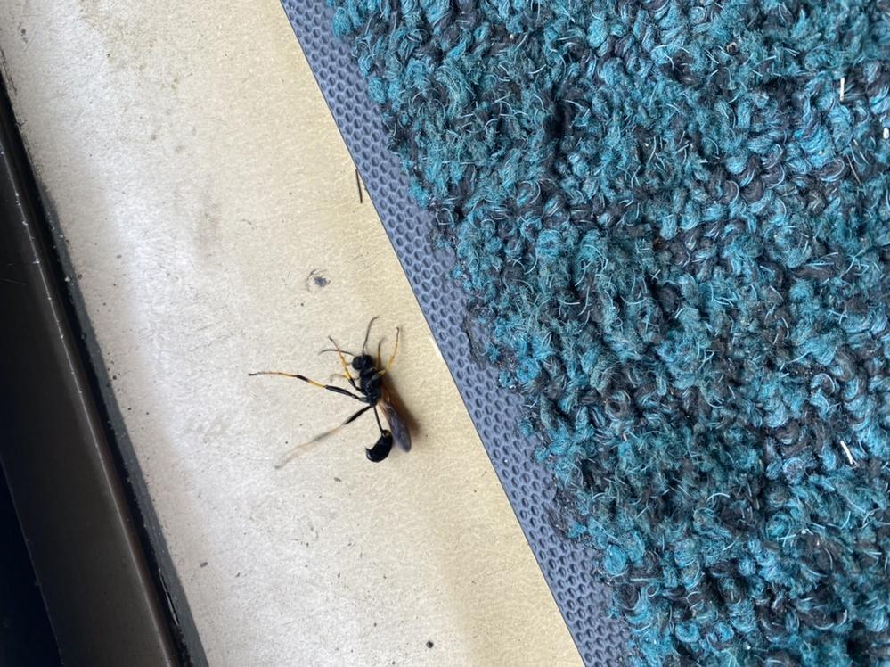 この虫の名前を教えて下さい! 家の中で毎日発生していて、 どこかに巣があるのでは?と思っています。 この虫は人間を刺したりするのでしょうか?? 殺虫剤をかけたあとに撮影してますので ひっくり返ってます。 分かりにくい写真かもわかりませんが よろしくお願いします。