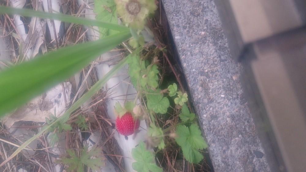 これはヘビイチゴですか?