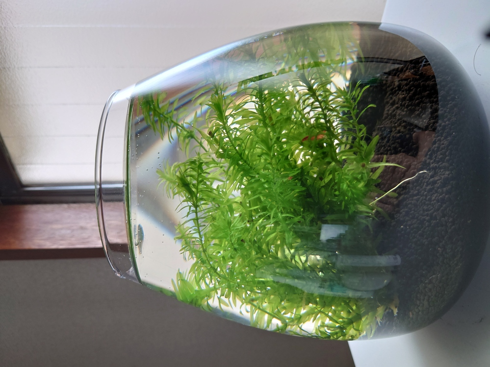 ボトルアクアリウムの生体管理について教えて下さい。 5リットル位のガラス水槽で、レッドチェリーシュリンプ3尾とメダカ1匹入れてます。 あと、極小のスネールが数匹。 ソイル敷いて、水草はアナカリスを入れてます。 1週間エビだけで管理してましたが、大丈夫そうなのでメダカを入れました 今までは、毎日1リットル位の水替えのみ。 水質悪化が心配で餌をどうしようかと思っています。 2日に1度くらい少しだけメダカの餌をあげるのがいいか、PSBでもちょこっとたらすのがいいのか・・・。 それとも餌は入れない方がいいのか・・・、教えて下さい。
